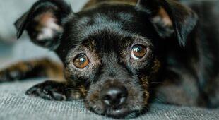 Jak przeliczyć wiek psa?
