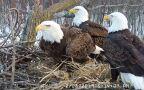 W gnieździe znajduje się dwóch samców i samica bielików amerykańskich