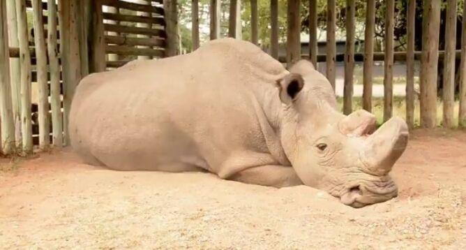 Tak wygląda wymieranie. <br />Los gatunku zależy już tylko od Sudana